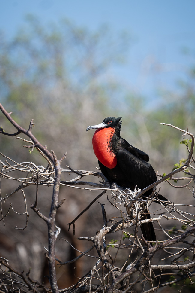 Best Camera Gear for the Galápagos Islands - Sony a7III + 100-400mm - Frigate Bird, North Seymour Island