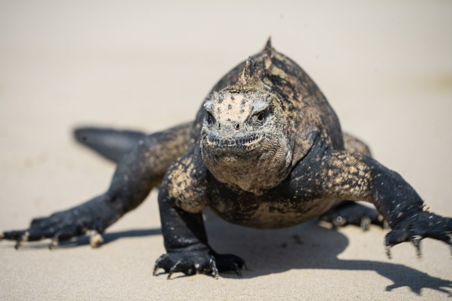 Best Camera Gear for the Galápagos Islands - Sony a7III + 100-400mm - Marine Iguana, Isabela Island