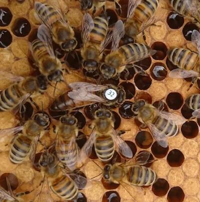 Queen Bee For Sale