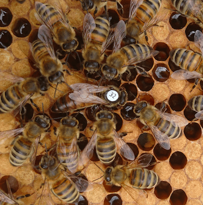 Buckfast Queen Bee For Sale