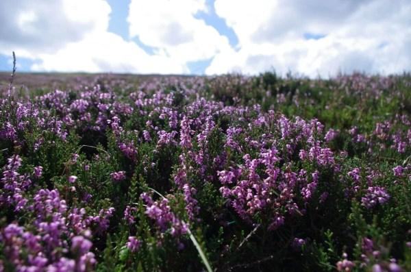 Heather Flowers | Heather Moors Beekeeping