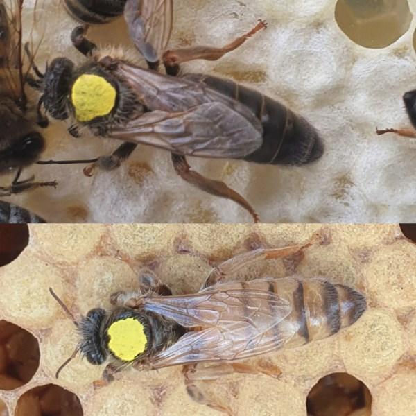 Virgin Queen Bees For Sale   Northumberland   UK