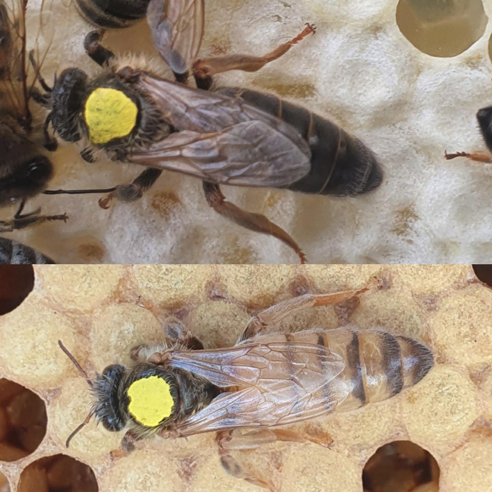 Virgin Queen Bees For Sale | Northumberland | UK