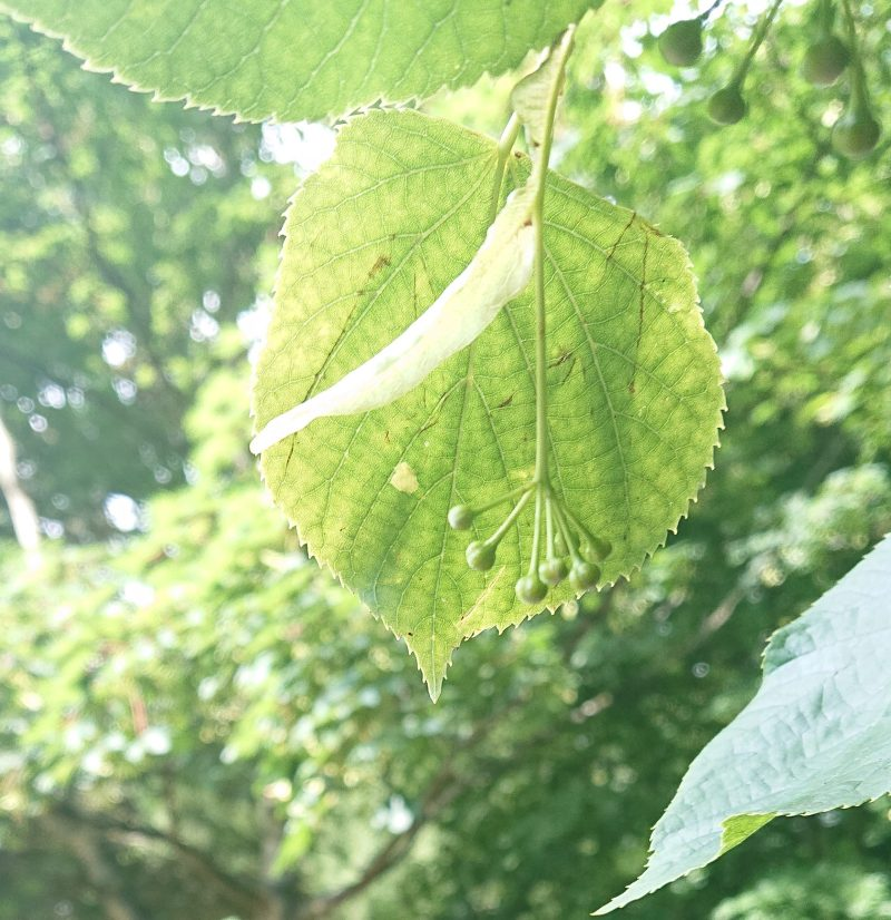 Lime Trees for Bees | Small Leafed Lime Tilia Cordata for Bees