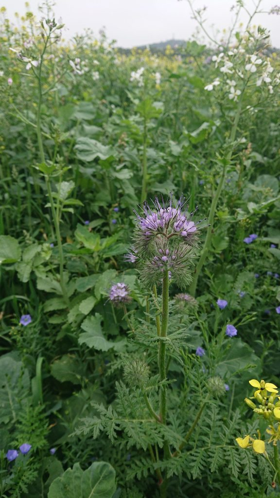 Wildflowers for Bees | Phacelia for Bees