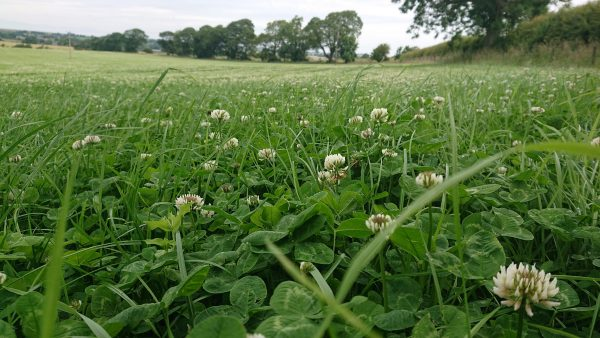 white clover pasture for bees