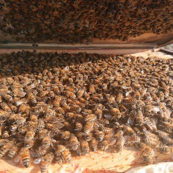 Honey Bee Colony Northumberland Honey Co