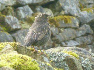 A newly fledged youngster