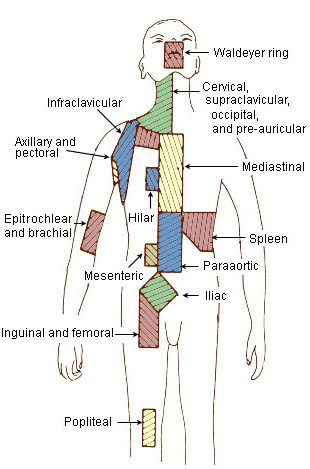 lymph nodes in groin location diagram labeled of spinal column swollen « northview health solution's blog