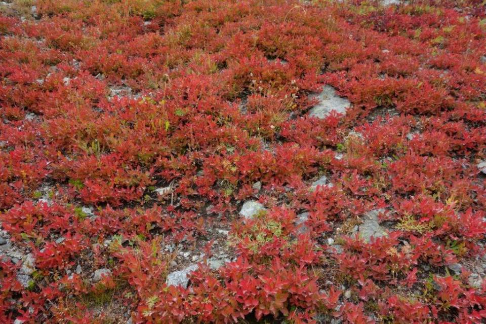 The larches aren't the only sources of spectacular color; huckleberry shrubs light up the Cascade slopes in September and October