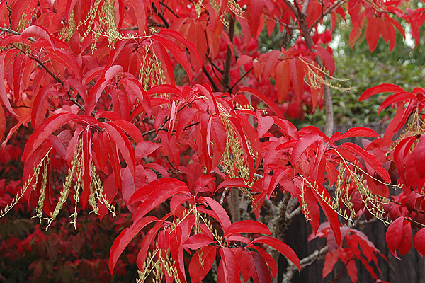 Oxydendrum in fall