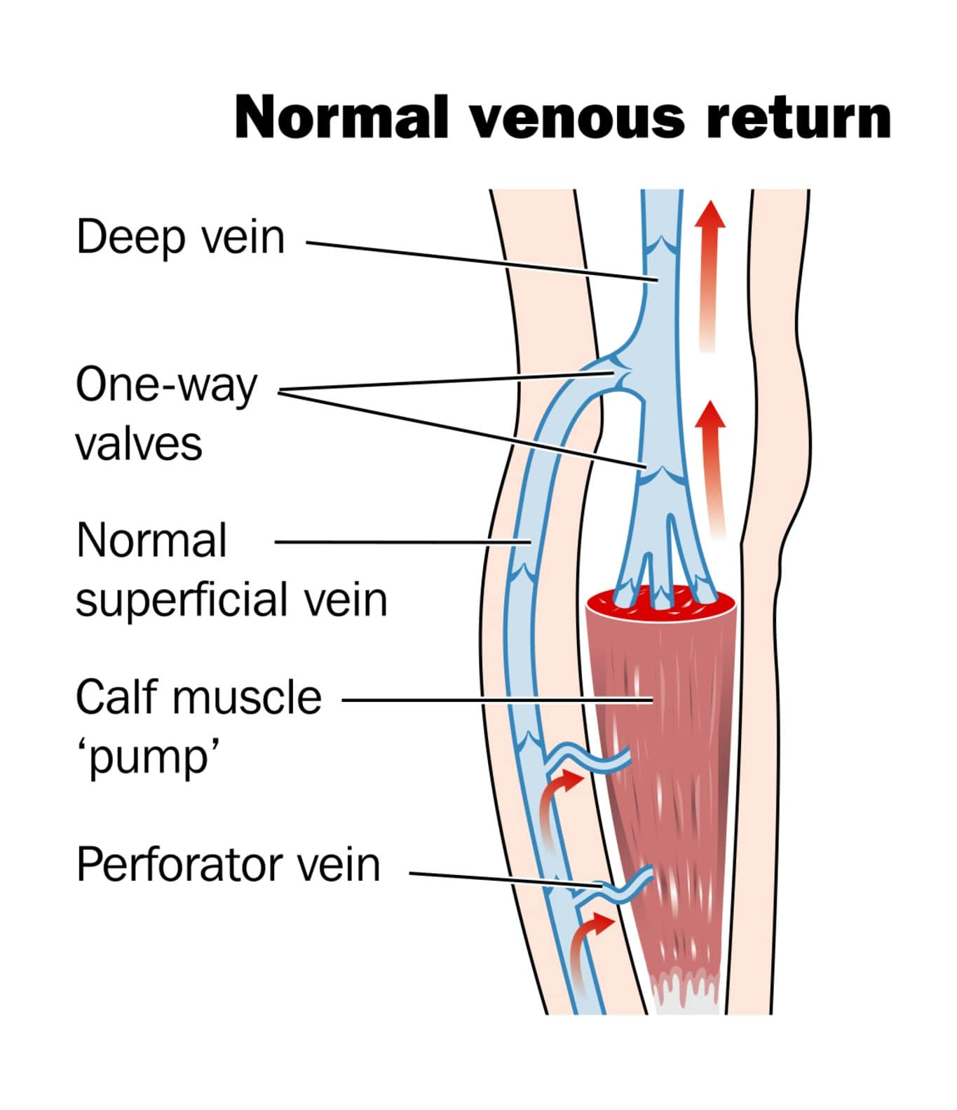 hight resolution of the superficial system of veins are present just under the skin it is the visible bulging of these veins that are called varicose veins