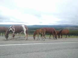 Just some horses on the side of the highway.