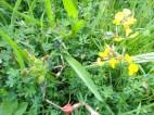 More ground flora including Bird's foot trefoil