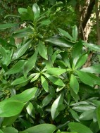 Spurge laurel in woodland verge