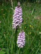 Common spotted orchid - grassland