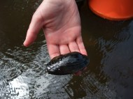 A live Freshwater pearl mussel from the River Esk.