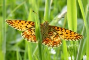 Small Pearl-bordered fritillary - copyright Tammy Andrews.