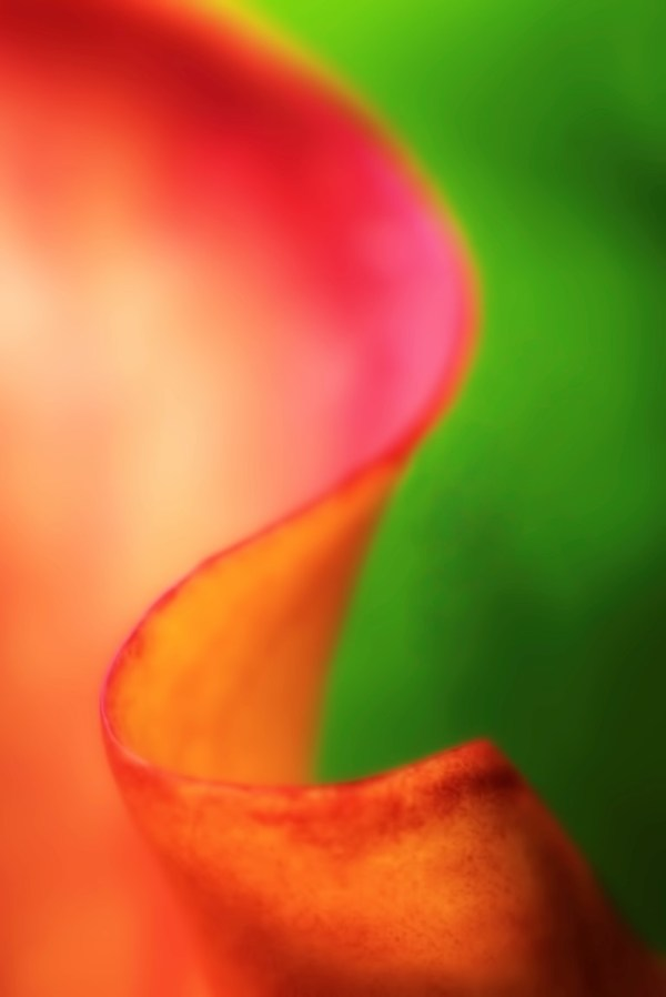 photo of red calla lily with green background titled Rhapsody by Charles Dana