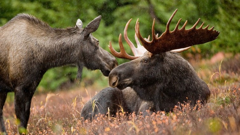 Continued decline in moose hunting