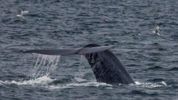 The world's largest animals blue whale