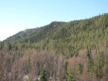Spruce pine rendalen nature reserve