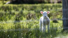 Pasture lamb farmer drought-struck