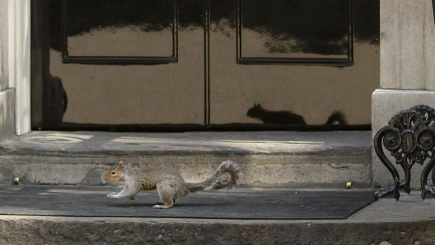 Grey squirrel at Downing Sreet 10 in London