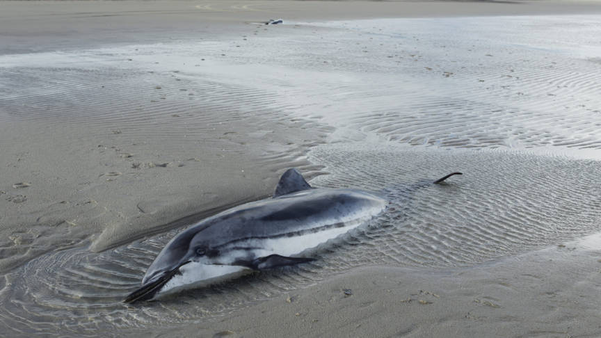Beached striped dolphin on Ameland, photo by Natuurcentrum Ameland/Johan Krol