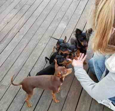 Øvelser og Triks - 5 hunder samlet foran hånden til Trine. Gir labb