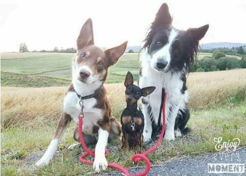Team NosAdMetam 3 hunder som sitter i veikanten. 2 Border Collie og i midten 1 Prazsky Krysarik