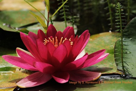 Water lily as a symbol of faith