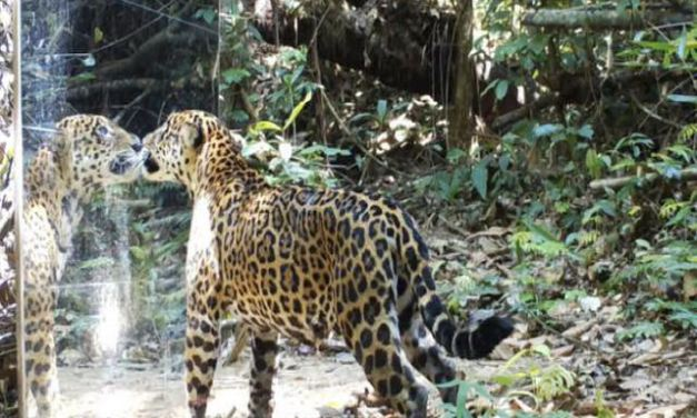 Fotógrafo coloca um espelho no meio da floresta amazônica para observar a reação dos animais; Confira!
