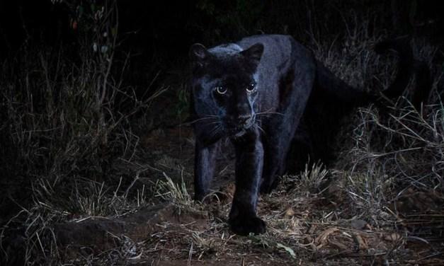 Rara Pantera Negra é fotografada pela primeira vez em 100 anos