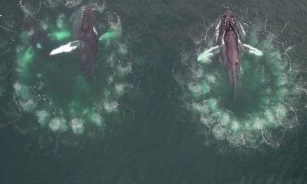 Vídeo inédito mostra detalhadamente como as baleias tecem redes de bolhas para pescar