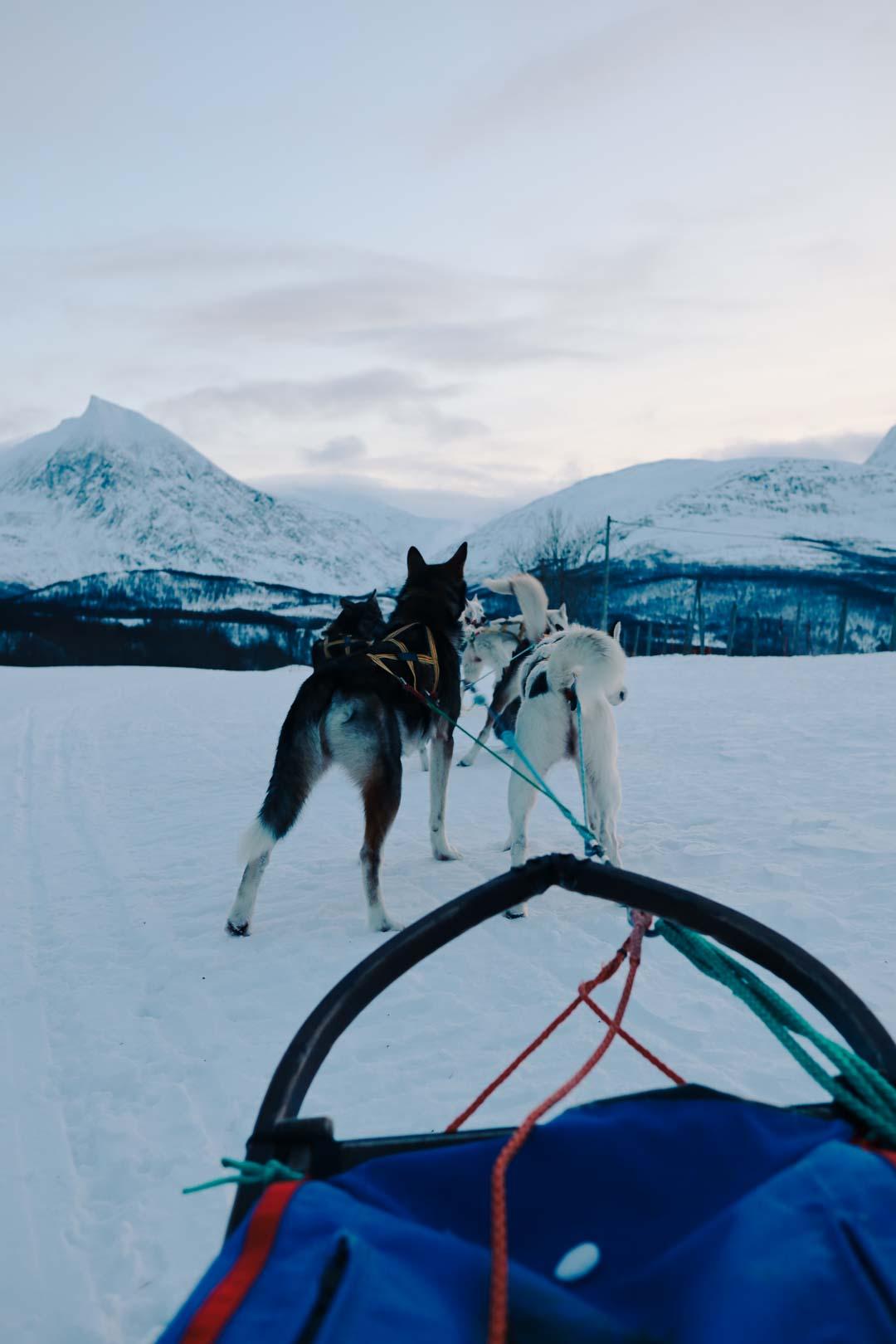 chien de traineau norvège