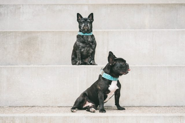 ariadna creus-fotografo mascotas-frenchie