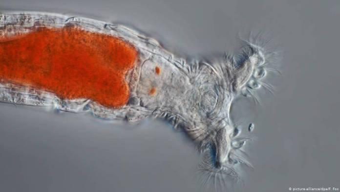 Microbio rotifero bdelloidea