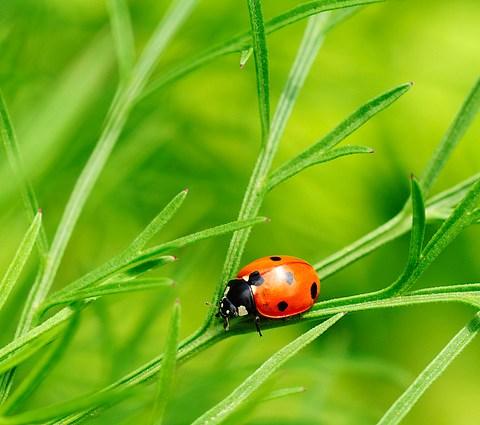 Save the ladybugs - No Spraying