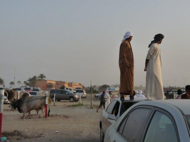 Bullfighting_Fujairah_3