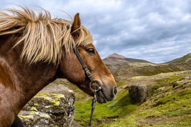 Icelanding Horse against the landscape