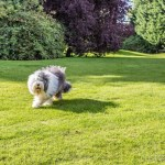 Wallace slows down and circles around, in classic sheep dog fashion.