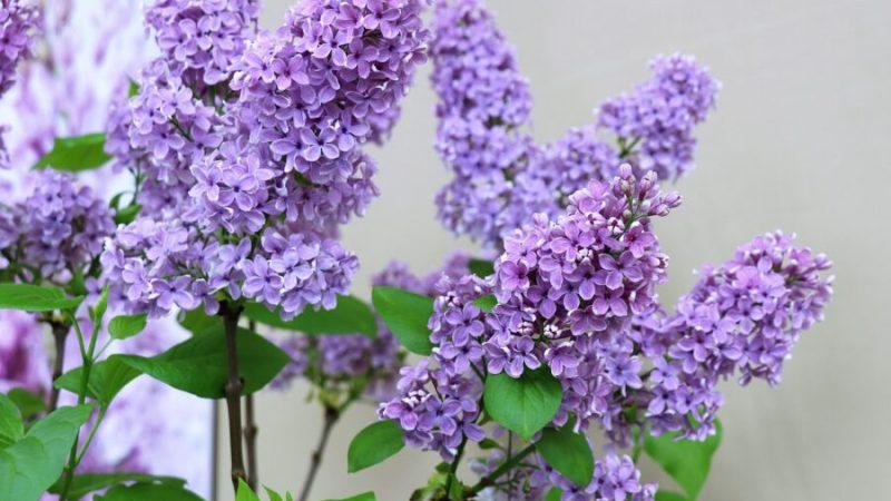Les vertus de l'huile essentielle de lilas