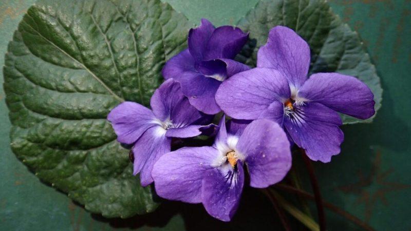 Tous les bienfaits de l'huile essentielle de violette