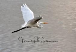 #7 Great Egret in Flight