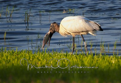 #10 Wood Stork with Catch