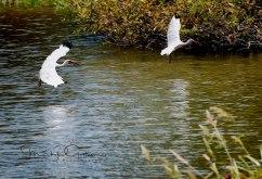 #25 Pair of White Ibis