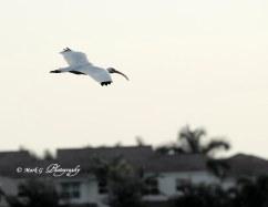 #22 White Ibis in Flight