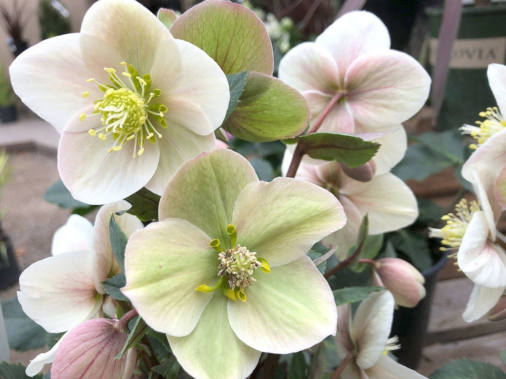 Shooting Star Hellebore Inspiration Photo