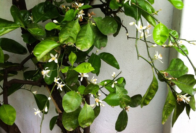 Citrus blossom in a courtyard in Cordoba Spain